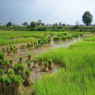 Cambogia, il riso delle lowlands